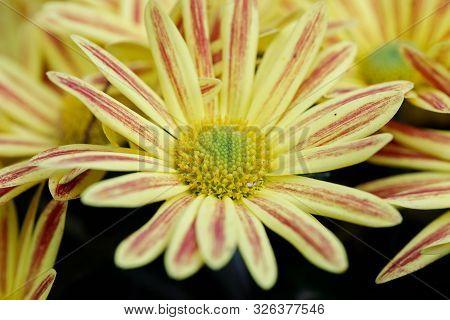 Yellow Gazania Or Treasure Flower In Full Bloom, Gazania Rigens, Gazania Splendens In Autumn Garden.