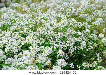 Alyssum. Alyssum Flowers. Lobularia Maritima Flowers, Close Up. Floral Pattern. Spring And Summer Fl