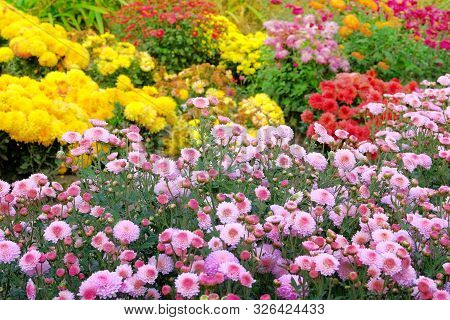 Garden Shop With Variety Bright Flowers. Bushes With Purple Hrysanthemums In Pots In Garden Store. N