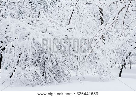 Beautiful Trees Covered In White Snow. Winter Park. Snow Covers The Forest. A Lot Of Fluffy Snow. Ba