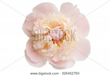 Peony  Pink Flower Isolated On White Background