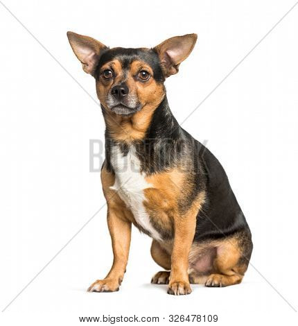 mixed-breed dog with chihuahua sitting against white background