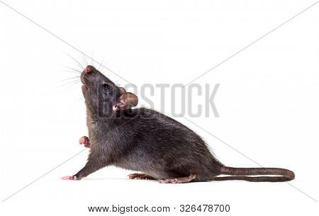 Black rat, Rattus rattus, in front of white background