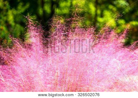 Pink Muhly Grass. Beautiful Pink Muhlenbergia Capillaries. Summer, Autumn Colors.