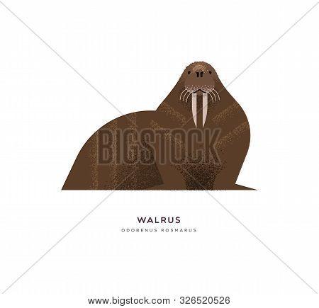 Wild Walrus Animal Illustration On Isolated White Background. Educational Wildlife Design With Fauna