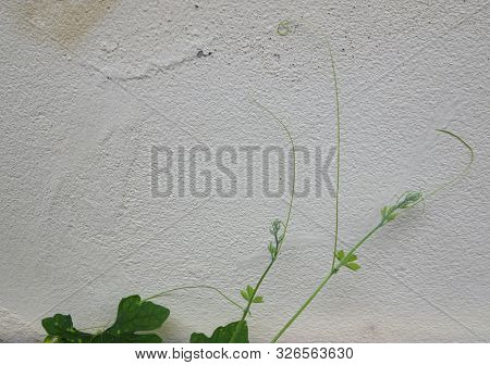 Green Creeper Plant On Cement Wall. Background With Copy Space. Minima Stylel