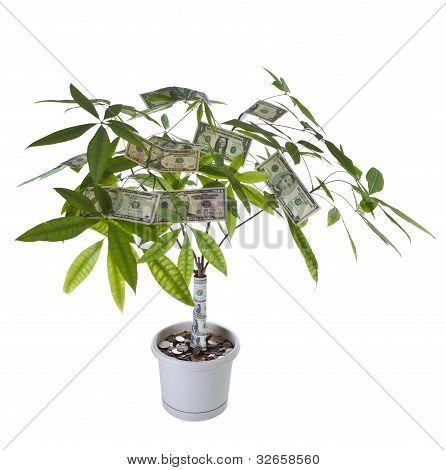 Money Tree In Full Bloom