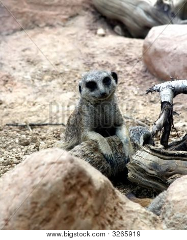 Meerkat Posing For A Picture