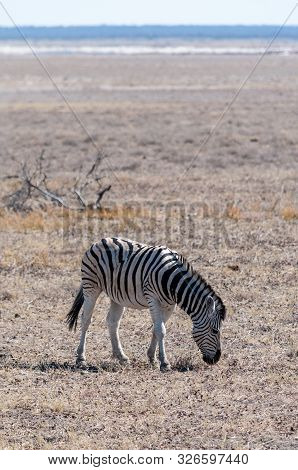 poster of A Burchells Plains zebra -Equus quagga burchelli- standing on the plains of Etosha National Park, Namibia.