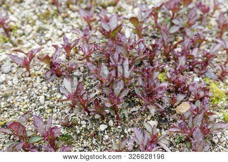Eupatorium Japonicum Flower