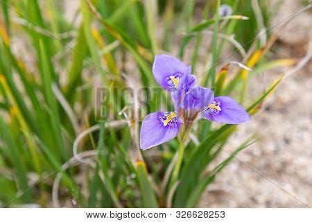 Algerian Iris Flower