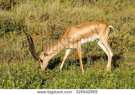 Young Female Antelope In The Savannah Of Samburu Park In Central Kenya