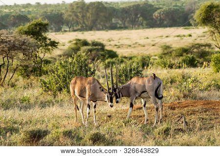 Oryx Couple In The Savannah Of Samburu Park In Central Kenya In Africa