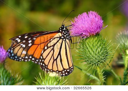 Monarch Butterfly (Danaus plexippus)