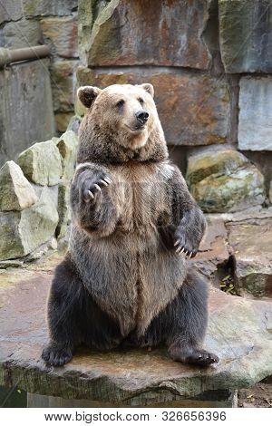Brown Bear (ursus Arctos Linnaeus) Sits On Hind Paws At Zoo