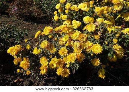 Florescence Of Yellow Chrysanthemums In Mid October