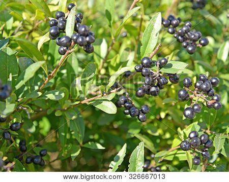 The Berries Of Common Privet (ligustrum Vulgare L.)