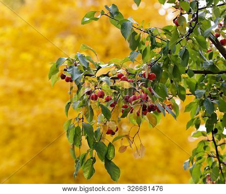 Small Uneatable Fruits Of A Decorative Apple Tree With Yellow Background