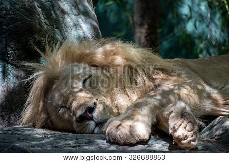 Close Up Of A Lion Sleeping In The Shade