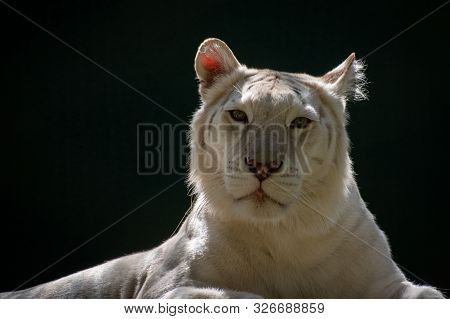Portrait Of A White Lion Laying In The Shade