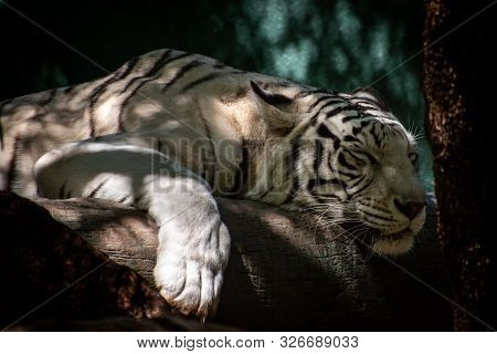 White Tiger Sleeping On A Log In The Shade