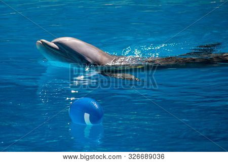 Swimming Dolphin Playing With A Blue Football