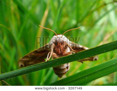 Butterfly Hawkmoth 14