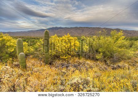 Tucson Arizona Desert Landscape. Desert Landscape With Spring Wildflowers And Saguaro Cactus At Sagu