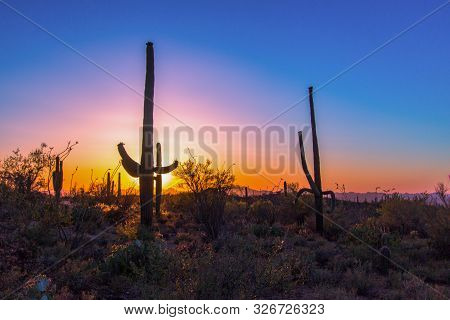Saguaro Cactus Sunset. Rare Large Saguaro Cactus In The Sonora Desert At Sunset In Saguaro National