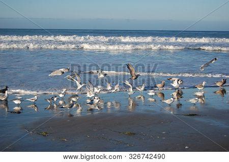 Seabirds Frolicking Along The Shores Of The Pacific Ocean, Jalama Beach, California.