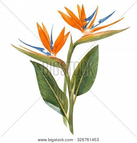 Beautiful Illustration With Hand Drawn Isolated Watercolor Tropical Strelitzia Flowers