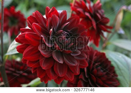 Dark Red Dahlia Variety Karma Naomi Flower With A Background Of Blurred Leaves And Flowers.
