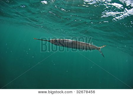 Ballyhoo fish swimming in ocean