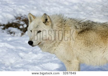Female alpha wolf on a Northern Minnesota pack poster