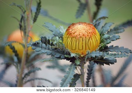 Australian Native Golden Flower Head Of The Showy Dryandra, Banksia Formosa, Family Proteaceae. Ende