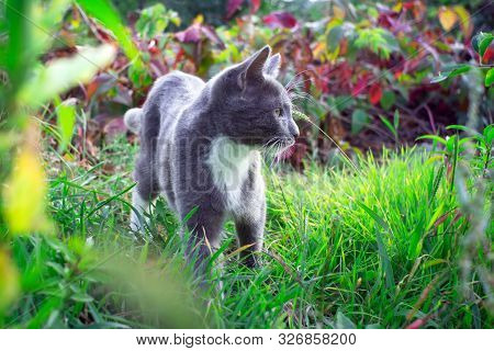 Kitten With A White Breast On A Green Grass Background. Little Cute Kitten.outbred Domestic Cat. Mes