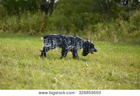 The Hunting Dog Is Following The Trail And Tracking A Wildfowl During The Hunt.