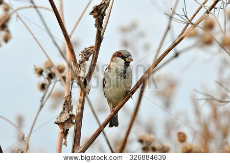 Sparrow Sitting On A Dry Branch Of A Large Burdock, Male. The House Sparrow (passer Domesticus) Is A