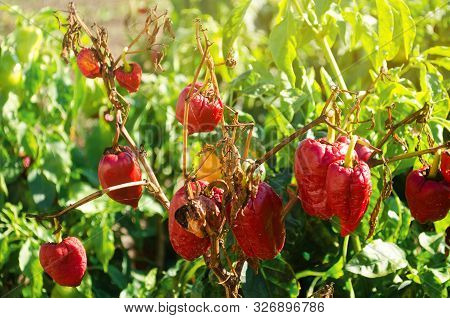 Dry wilted red bell pepper grows in the field. Vegetable disease. Global warming and poor harvest. Agribusiness. Agro industry. Growing Organic Vegetables. Agriculture and farming. Selective focus poster