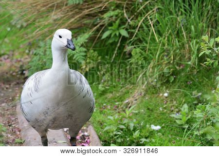 Front View Of An Upland Goose (chloephaga Picta)