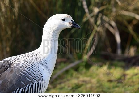 Side View Of An Upland Goose (chloephaga Picta)