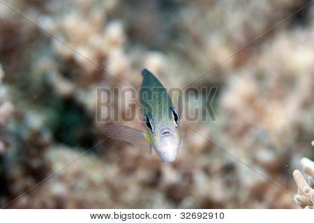 Arabian chromis taken in the Red Sea. poster