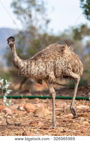 An image of an Emu Bird in Australia