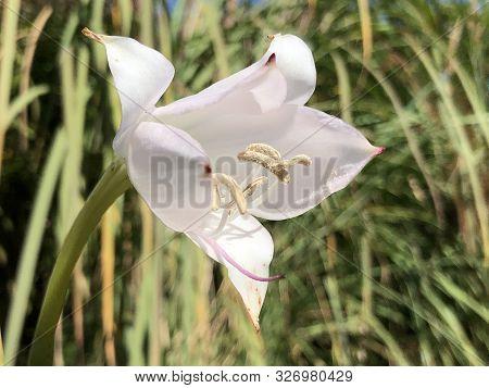 Swamp Lily (crinum X Powellii) Or Hakenlilie - Botanical Garden St. Gallen, Switzerland