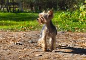 Yorkshire Terrier, or York -- decorative dog breed, bred in England, Yorkshire in the late XIX century poster