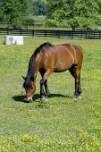 Dark bay horse grazing in field with green grass and yellow buttercups. poster