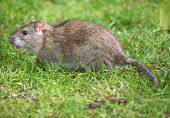 Common brown Rat in domestic garden on grass lawn. poster