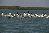 White pelicans taking flight over Gulf of Mexico poster