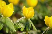 Bunch of yellow orange Eranthis, winter aconite in bloom. Early spring flowers in the garden on sunlight. poster