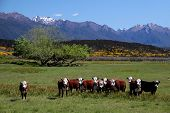 Cattle herd in the Eglinton River Valley Southland South island New Zealand poster